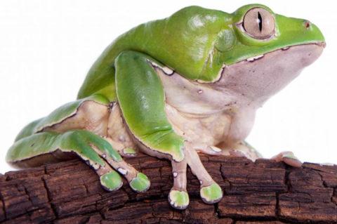 Kambo Frog Medicine – Adventures in Peru