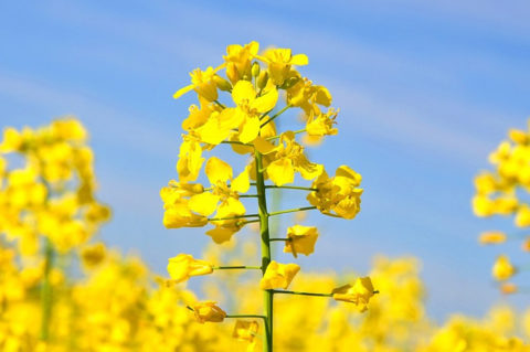 Canola Oil: Dangerous Scam Working Its Way into Your Diet, Quite Possibly Harming Your Brain