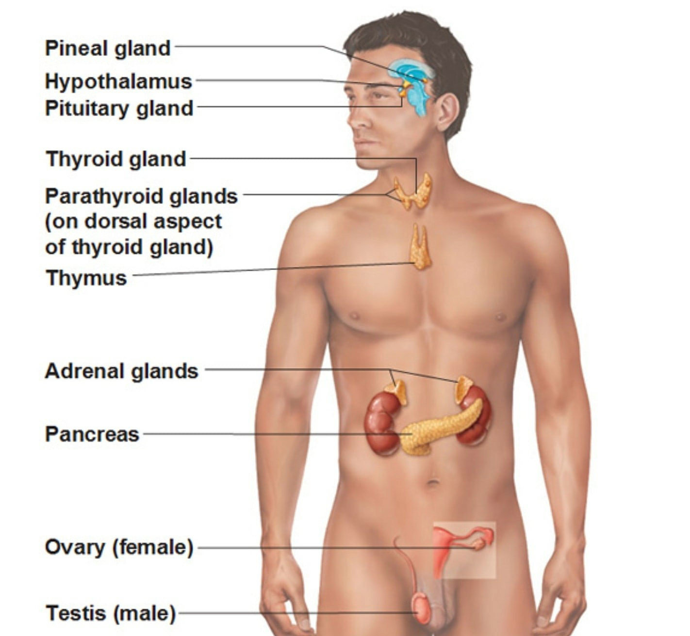 The Major Endocrine Organs