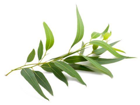Eucalyptus Broth Recipe