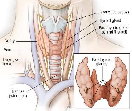 thyroid - parathyroid